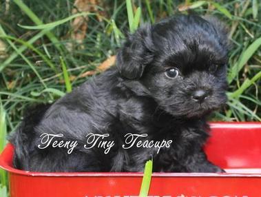 Previous Teacup Shih Poo Teacup Poodle Puppies