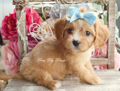 previous teacup shihpoo amp teacup poodle puppies